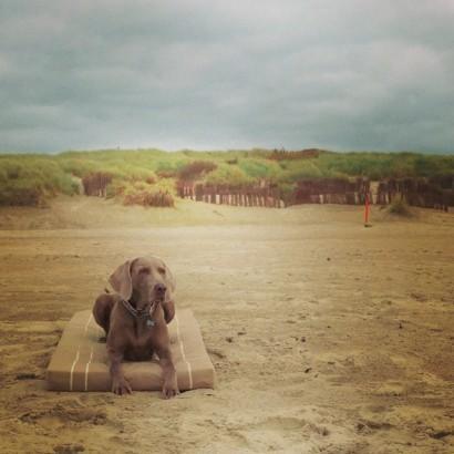 hondenleventje.-sea-beach-dog-weimaraner